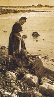 Oogst van zeewier voor mest op het land.